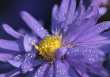 Purple Aster with dew drops Royalty Free Stock Photos