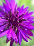 Purple Aster Feature. A closeup look of purple aster feature Stock Photo