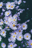 Purple Aster Flower Royalty Free Stock Images