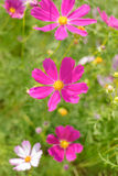 Purple Aster Flower Stock Images