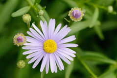 Purple aster flower Stock Photos