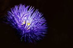 Purple Aster flower on a dark background close-up. symbolize the. Accuracy, beauty and modesty.The petals of a flower are like the sharp ends of a star stock photo
