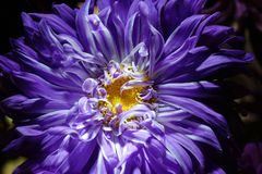 Purple Aster flower on a dark background close-up. symbolize the. Accuracy, beauty and modesty.The petals of a flower are like the sharp ends of a star royalty free stock image