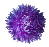 Purple aster flower isolated on white background with clipping path.  Closeup no shadows. Nature Stock Photos