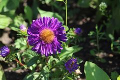 Purple Aster flower Royalty Free Stock Photography