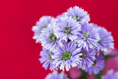 Purple aster flower Stock Photo
