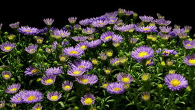 Purple Aster Flower Time-lapse stock video footage