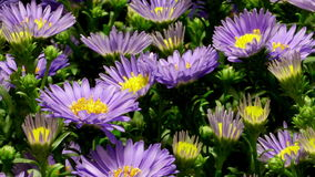 Purple Aster Flower Time-lapse stock video