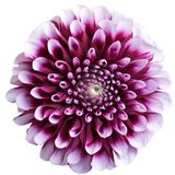 Purple aster flower on white Royalty Free Stock Images
