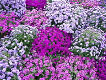 Purple Aster Flowers Royalty Free Stock Photo