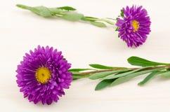 Purple aster flowers Stock Photo