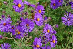 Purple aster flowers Royalty Free Stock Image