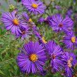 Purple aster flowers in bloom Stock Photos