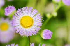 Purple aster flowers Stock Images