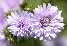 Purple aster flowers Royalty Free Stock Images