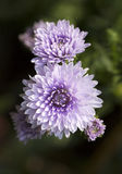 Purple aster flowers Stock Photography