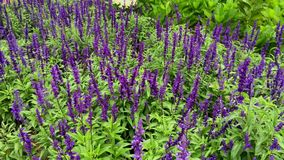 Purple Aster flowers. At the park stock footage