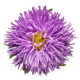 Purple aster isolated Royalty Free Stock Photos