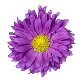 Purple aster isolated Stock Photo