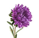 Purple aster isolated on white. Background Stock Image