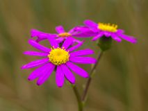 Purple aster new zealand Royalty Free Stock Images