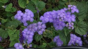 Purple Aster. An aster plant with purple flowers stock footage