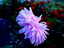 Purple Aster in the summer garden. Oriental hybrids. royalty free stock photo