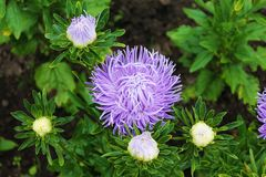 Purple aster surrounded by white buds. Purple aster gortennziy on an isolated background stock photo