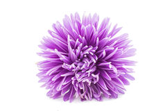 Purple aster Stock Image