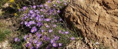 Purple aster wildflower Royalty Free Stock Photos