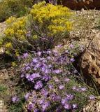 Purple aster wildflower Stock Photo