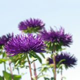 Purple asters Stock Image