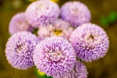 Purple asters beautiful flower on a flower bed royalty free stock photography