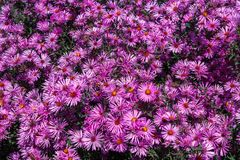 Purple asters. Asters bloom in the fall stock photography