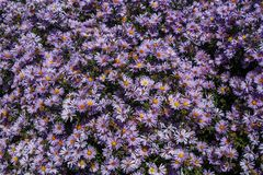 Purple asters. Asters bloom in the fall stock photo