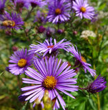Purple Asters - Boise, Idaho. Purple asters blooming in a city park, Boise, Idaho Stock Photo