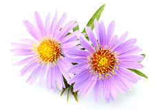 Purple asters close-up isolated.Lady in Blue; Purple Dome. Royalty Free Stock Photo