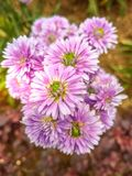 Purple Asters Closeup Photo at Daytime Stock Images