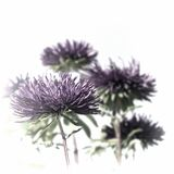 Purple asters Royalty Free Stock Images