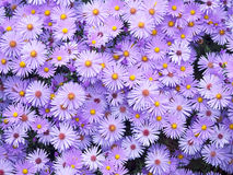 Purple asters in the fall Royalty Free Stock Images