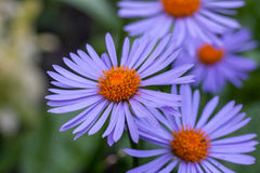 Purple asters flowerbed. Purple asters in the garden. One in focus Stock Image