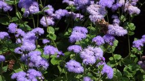 Purple Asters stock video
