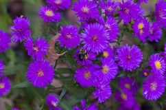 Purple Asters. Are late summer fall blooming Stock Photo