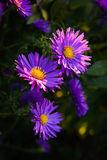 Purple Asters in the Sun Stock Image