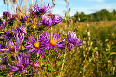 Purple asters wild in field Royalty Free Stock Images