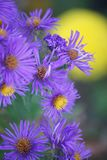Purple asters with yellow marigold blurred in background. Purple asters with yellow centers add beauty to a summer garden, blurred yellow marigold in the Stock Images