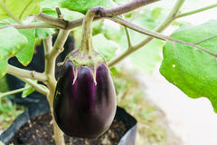 Purple aubergine growing on the plant Stock Images