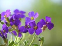 Purple aubretia Royalty Free Stock Photos