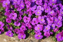 Close up detail of purple aubretia alpine plant royalty free stock photos