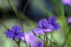 Australian native Common Fringe lilies royalty free stock photography